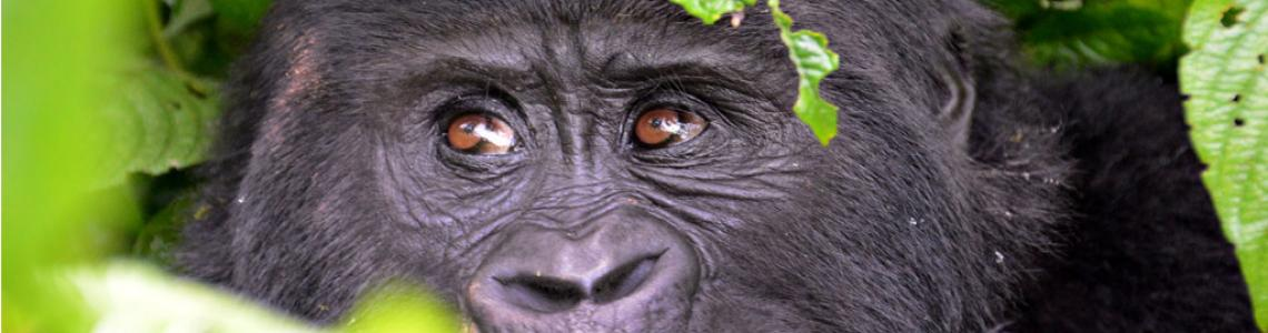 Gorilla Tracking Safari Uganda